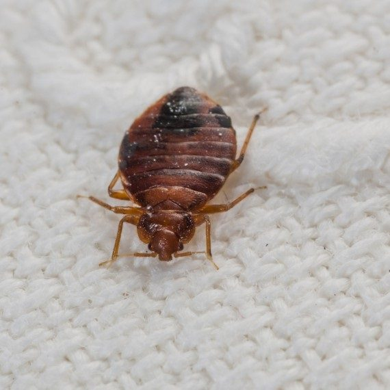 Bed Bugs, Pest Control in Goffs Oak, Cheshunt, EN7. Call Now! 020 8166 9746