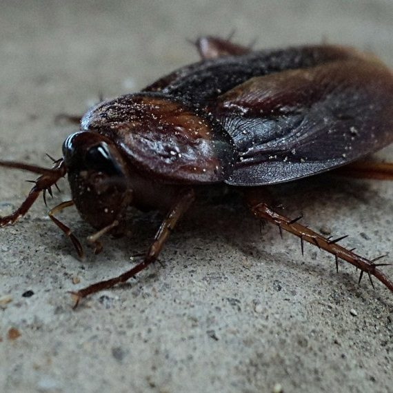 Cockroaches, Pest Control in Goffs Oak, Cheshunt, EN7. Call Now! 020 8166 9746