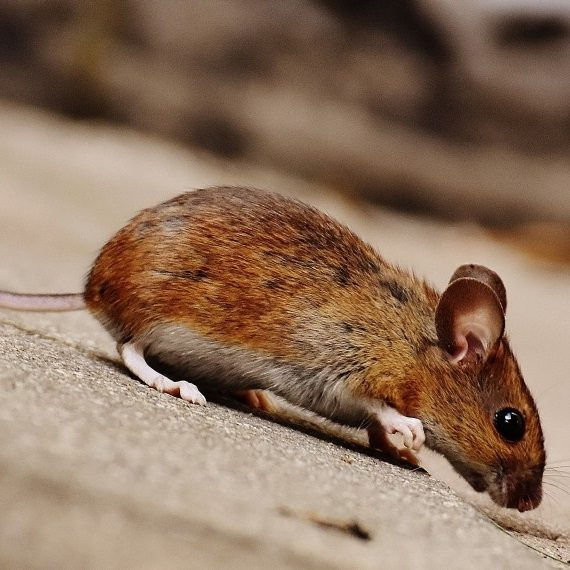 Mice, Pest Control in Goffs Oak, Cheshunt, EN7. Call Now! 020 8166 9746