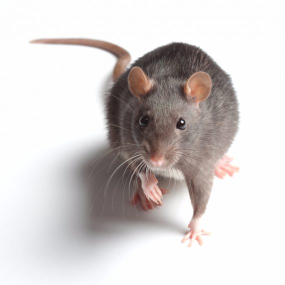 Rats, Pest Control in Goffs Oak, Cheshunt, EN7. Call Now! 020 8166 9746
